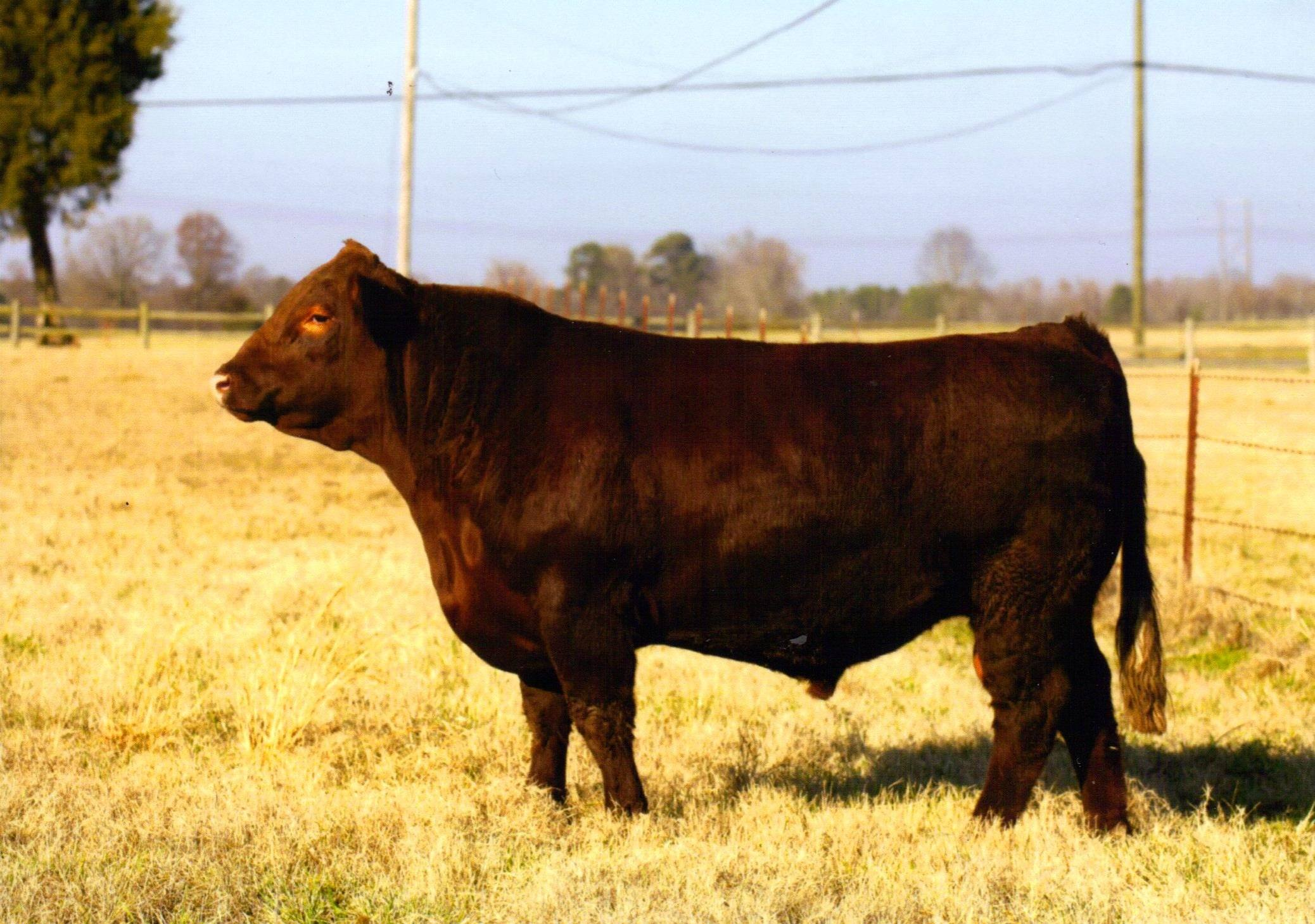 Redclound - Red Poll Cattle National Champion