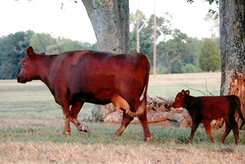 Red Poll Embryo Sales