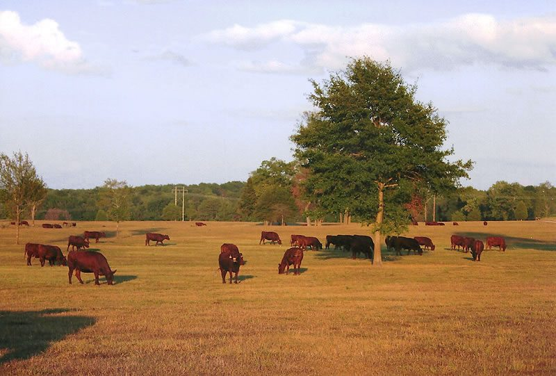 Perry County Ranch - Esquire Cattle